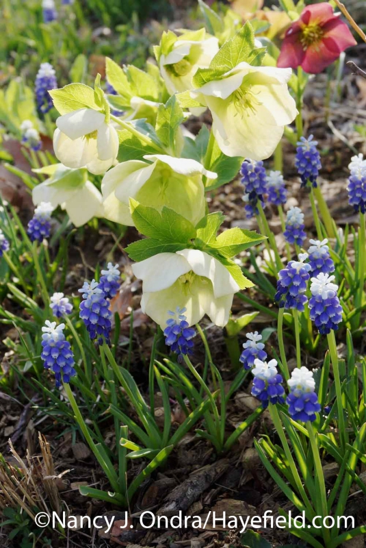 'Ocean Magic' grape hyacinth (Muscari aucheri) with hybrid Lenten roses (Helleborus x hybridus); Nancy J. Ondra at Hayefield
