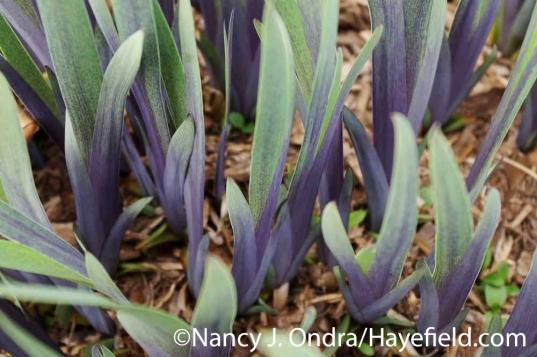 Iris x robusta Gerald Darby at Hayefield.com