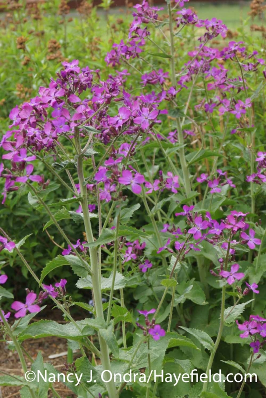 Lunaria annua Pennies in Bronze at Hayefield.com