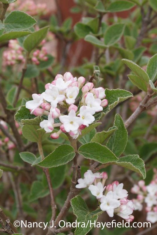 Viburnum carlesii Compactum at Hayefield.com