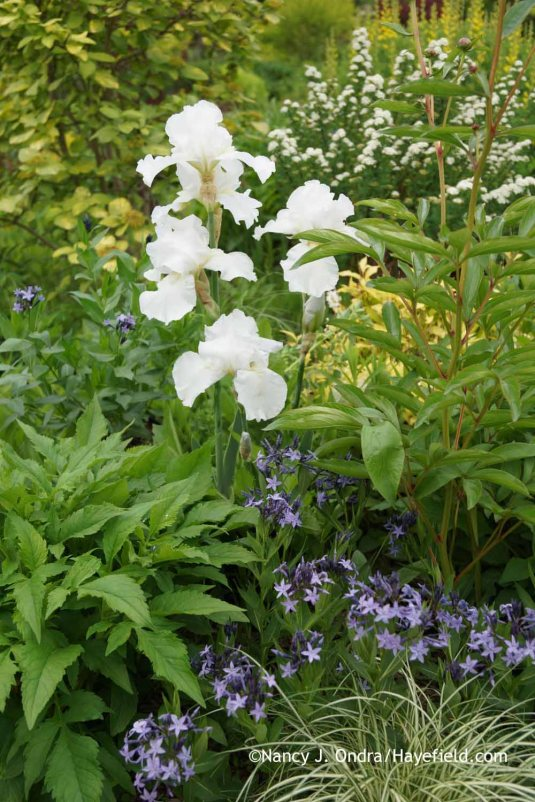 Amsonia Blue Ice with Iris Immortality at Hayefield.com
