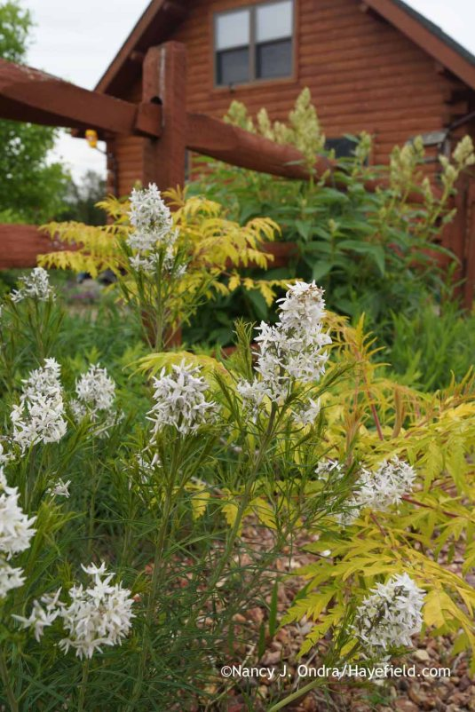 Amsonia hubrichtii at Hayefield.com