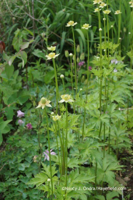 Anemone cylindrica at Hayefield.com