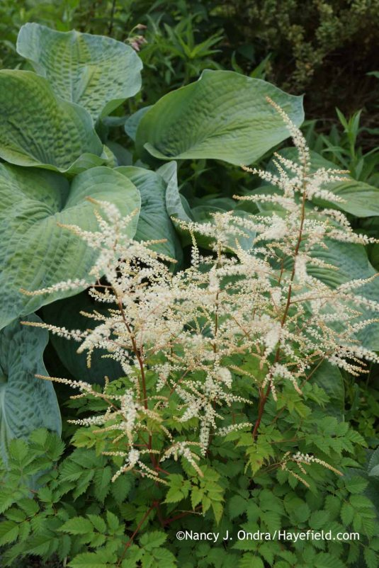 Aruncus 'Misty Lace' with Hosta sieboldiana 'Elegans' at Hayefield.com