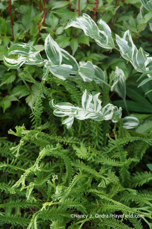 Polygonatum x hybridum 'Striatum' ('Grace Barker') and Athyrium filix-femina 'Frizelliae' at Hayefield.com