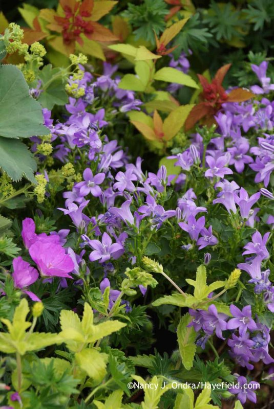 Campanula 'Birch Hybrid' with Geranium sanguineum, Veronica 'Trehane', Alchemilla mollis, and Spiraea japonica 'Walbuma' [Magic Carpet] at Hayefield.com at Hayefield.com