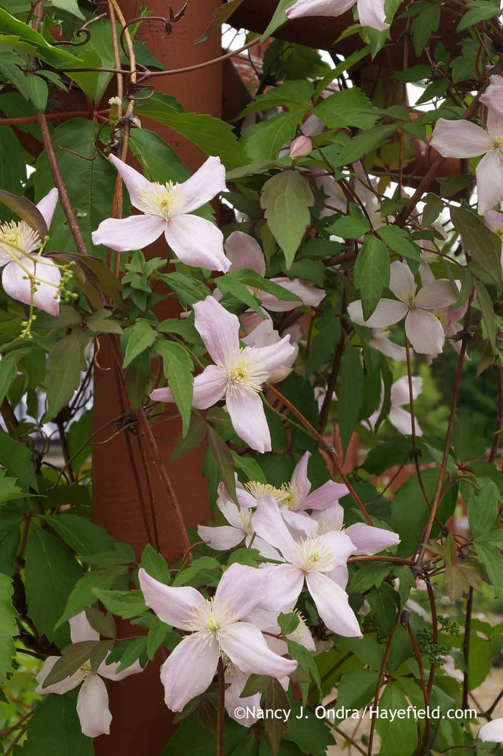 garden bloggers bloom day june 2015 hayefield. Black Bedroom Furniture Sets. Home Design Ideas