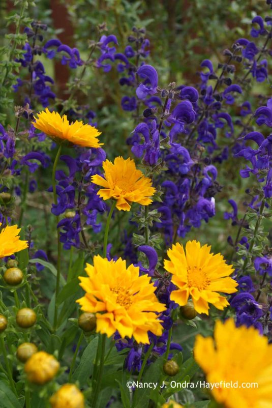 Coreopsis 'Jethro Tull' with Salvia pratensis 'Twilight Serenade' at Hayefield.com
