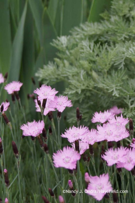 Dianthus Bath's Pink at Hayefield.com