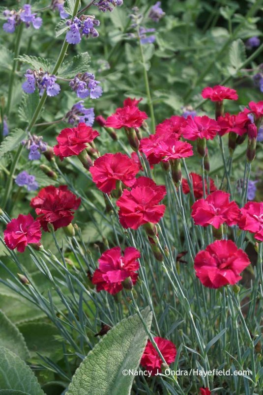 Dianthus Frosty Fire at Hayefield.com