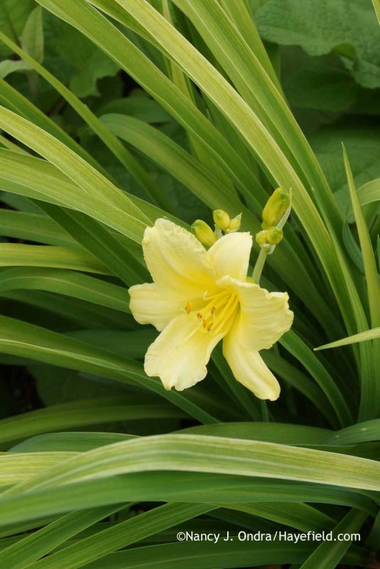 Hemerocallis Stella dOro (yellow-leaved sport) at Hayefield.com