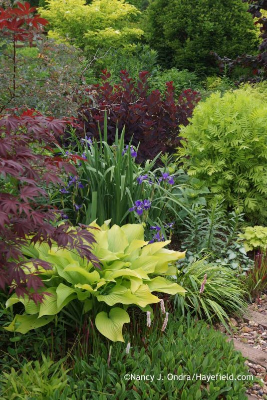 'Sun Power' hosta with dwarf fleeceflower (Persicaria affine), Japanese maple (Acer palmatum), 'Gerald Darby' iris (Iris x robusta), blueleaf rose (Rosa glauca), 'Royal Purple' smokebush (Cotinus coggygria), 'Isla Gold' tansy (Tanacetum vulgare), and 'Beni-kaze' Hakone grass (Hakonechloa macra) at Hayefield.com