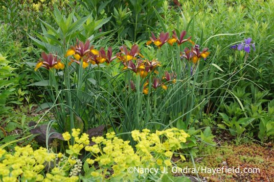 Dutch Iris Lion King at Hayefield.com