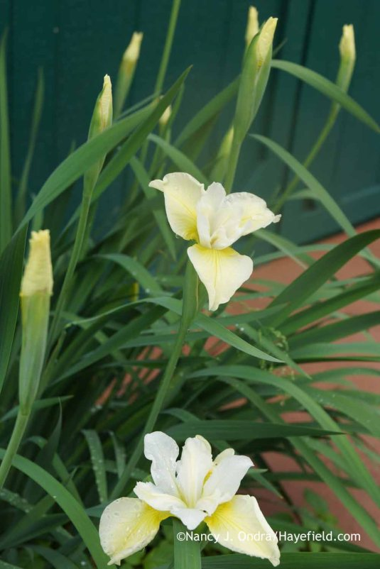 Iris sibirica Butter and Sugar at Hayefield.com