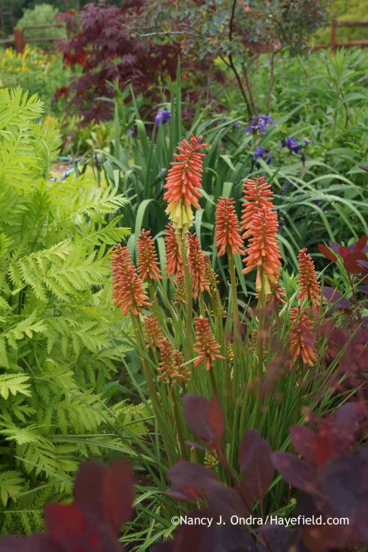 Kniphofia uvaria 'Flamenco' with Tanacetum vulgare 'Isla Gold' at Hayefield.com