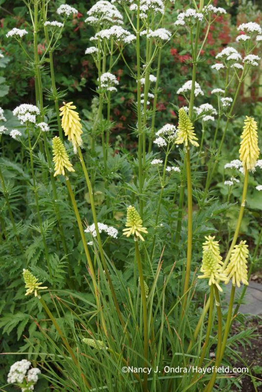Kniphofia uvaria 'Flamenco' (a solid-yellow seedling) with Valeriana officinalis at Hayefield.com