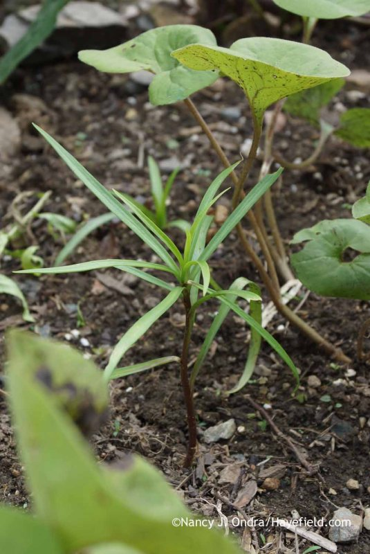 Lilium formosanum var. pricei seedling at Hayefield.com