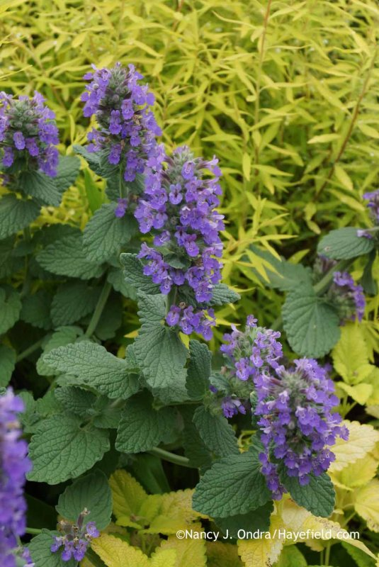 Nepeta' Purple Haze' with Mellow Yellow spirea (Spiraea thunbergii 'Ogon') and Melissa officinalis 'All Gold' at Hayefield.com