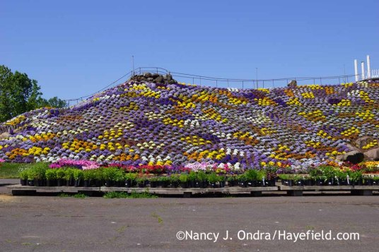 Pansy mountain at Ott's Exotic Plants, Schwenksville, PA