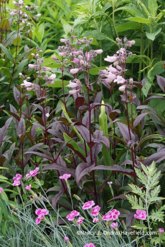 Penstemon 'Dark Towers' with Dianthus 'Pixie' at Hayefield.com
