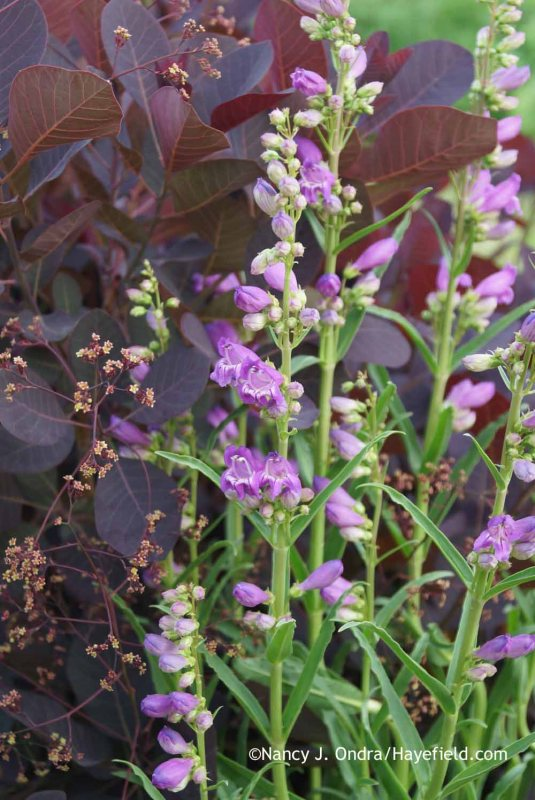 Penstemon 'Prairie Dusk' with Cotinus coggygria 'Royal Purple' at Hayefield.com