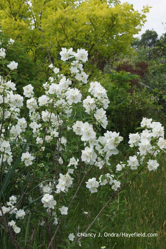Philadelphus 'Innocence' at Hayefield.com