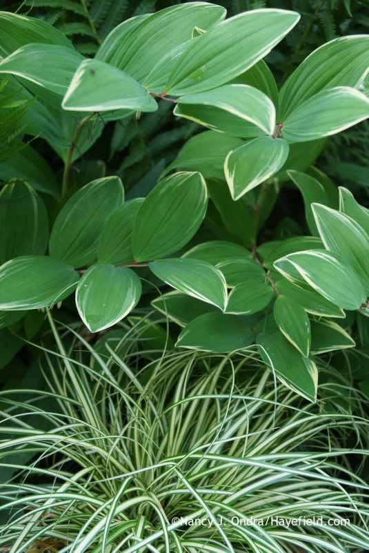 Polygonatum odoratum 'Variegatum' with Carex oshimensis 'Evergold' at Hayefield.com