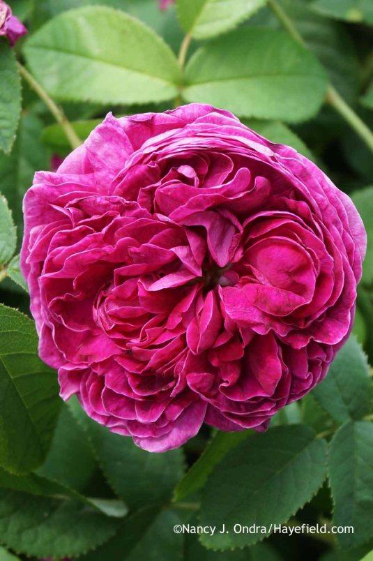 Rose Belle de Crecy at Hayefield.com