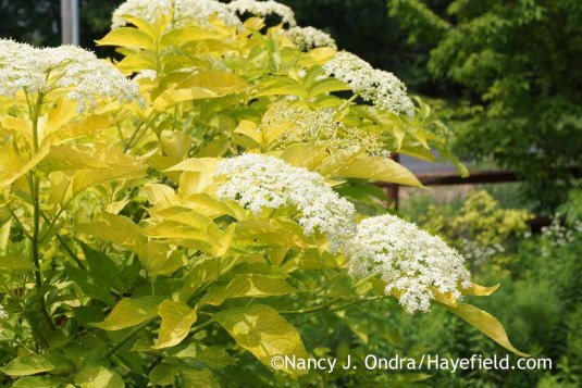 Golden elderberry (Sambucus nigra 'Aurea') at Hayefield.com