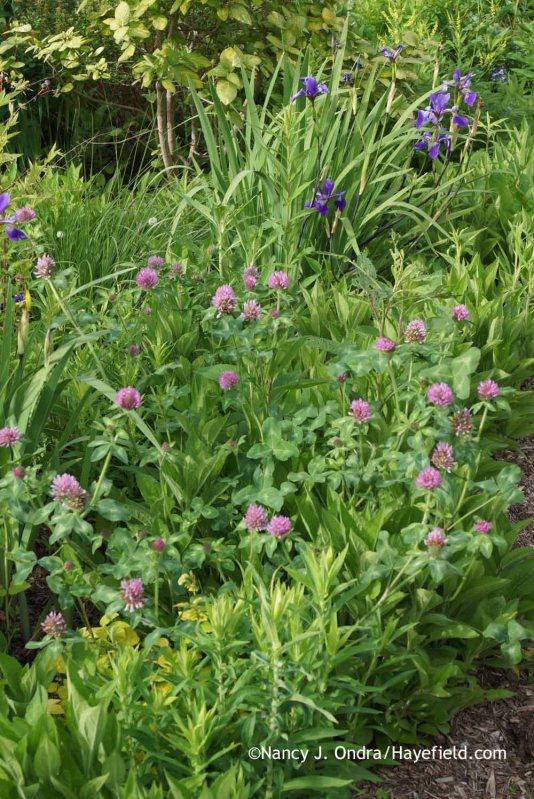 Trifolium pratense at Hayefield.com