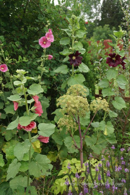Alcea rosea with Angelica archangelica and Veronica 'Eveline'; Nancy J. Ondra at Hayefield