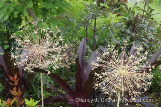 Allium cristophii seedheads with Eucomis comosa 'Oakhurst' and Dahlia 'Bishop of Llandaff'; Nancy J. Ondra at Hayefield