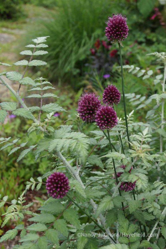 Allium sphaerocephalon with Rubus thibetanus; Nancy J. Ondra at Hayefield