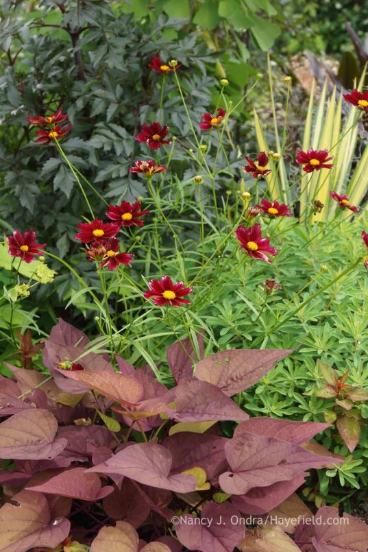 Coreopsis 'Mercury Rising' with Ipomoea batatas 'Sweet Georgia Heart Red', Euphorbia polychroma, Yucca filamentosa 'Golden Sword', and Dahlia 'Bishop of Llandaff'; Nancy J. Ondra at Hayefield