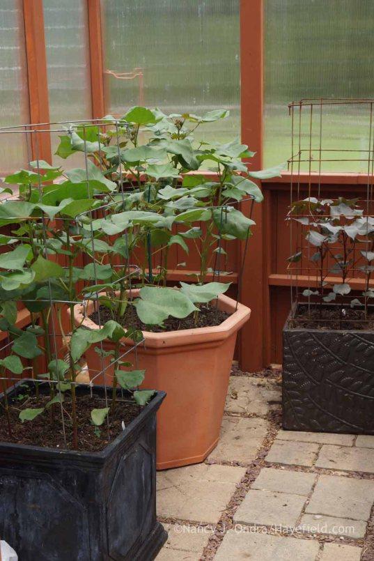 Gossypium 'Red Beauty' and G. herbaceum 'Nigrum'; Nancy J. Ondra at Hayefield