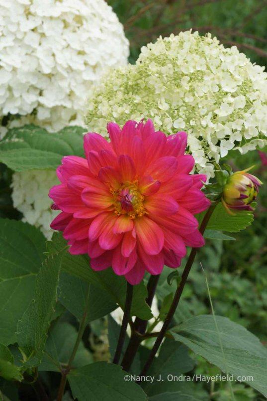 Dahlia 'Karma Fuchsiana' with Hydrangea arborescens 'Anabelle'; Nancy J. Ondra at Hayefield