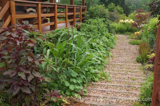 Amaranth, pod corn, 'Brandywine' tomatoes, and 'Dragon Tongue' beans in the front garden foundation border; Nancy J. Ondra at Hayefield