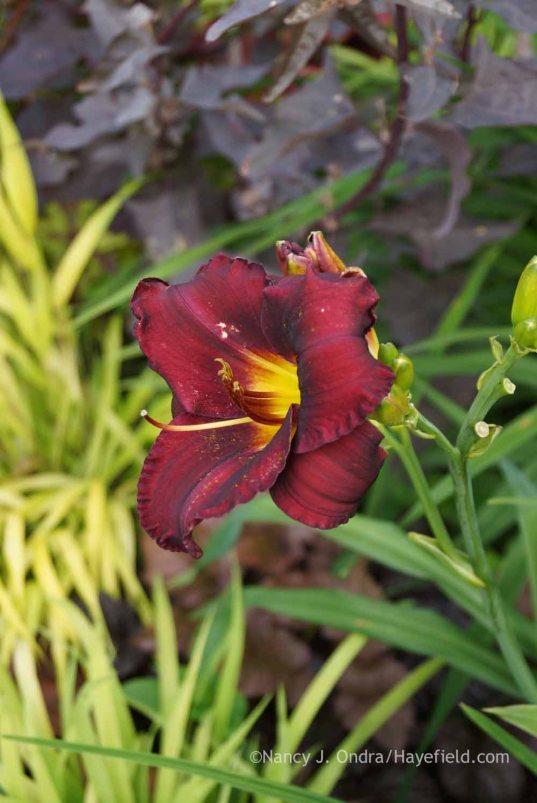 Hemerocallis 'Jungle Beauty' against Hakonechloa macra 'All Gold' and Atriplex hortensis 'Rubra'; Nancy J. Ondra at Hayefield
