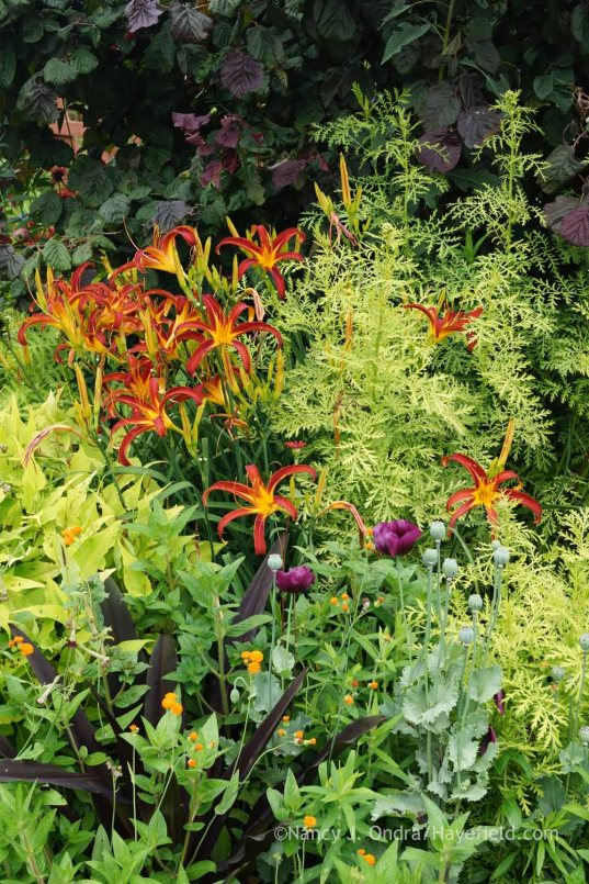Hemerocallis 'Nona's Garnet Spider' with 'Lauren's Grape' poppy (Papaver), 'Irish Poet' tassel flower (Emilia javanica), 'Oakhurst' pineapple lily (Eucomis comosa), Tanacetum vulgare 'Isla Gold', and Corylus avellana 'Red Majestic'; Nancy J. Ondra at Hayefield