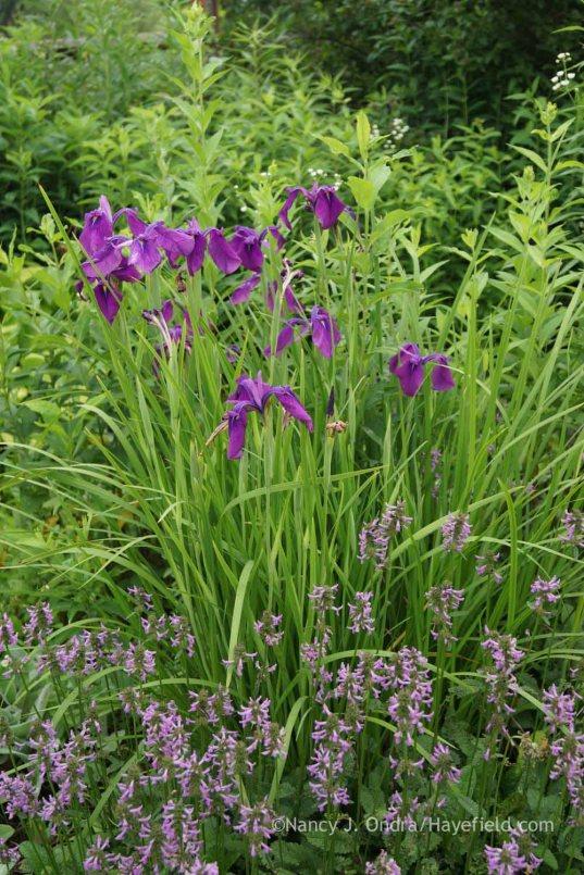Iris ensata with Stachys officinalis; Nancy J. Ondra at Hayefield
