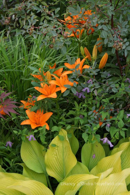 Lilium 'Orange County' with Hosta 'Sun Power', a no-ID Clematis, and Rosa glauca; Nancy J. Ondra at Hayefield