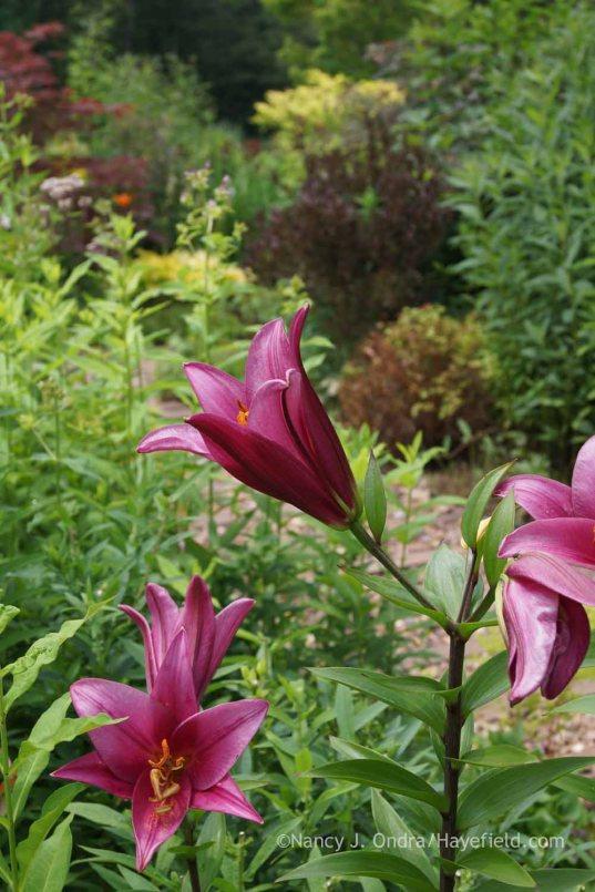 Lilium 'Purple Prince'; Nancy J. Ondra at Hayefield