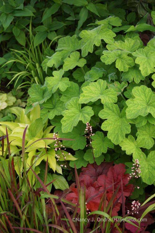 Pelargonium tomentosum with Hosta 'Fire Island', Heuchera 'Fire Alarm', and Imperata cylindrica 'Rubra'; Nancy J. Ondra at Hayefield