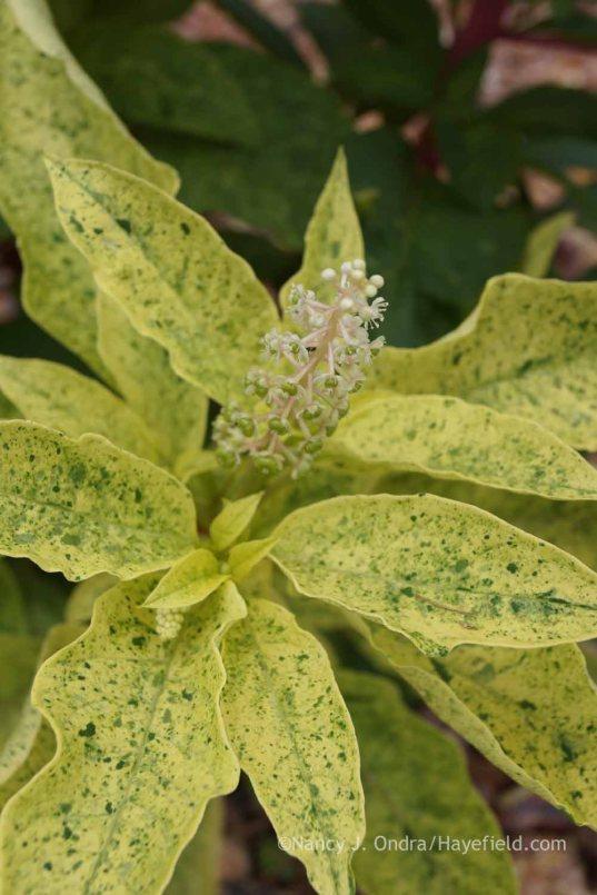 Phytolacca americana 'Silberstein'/'Variegata'; Nancy J. Ondra at Hayefield