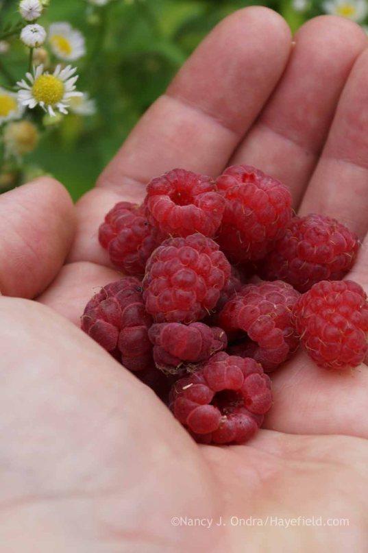 Raspberry 'Caroline'; Nancy J. Ondra at Hayefield