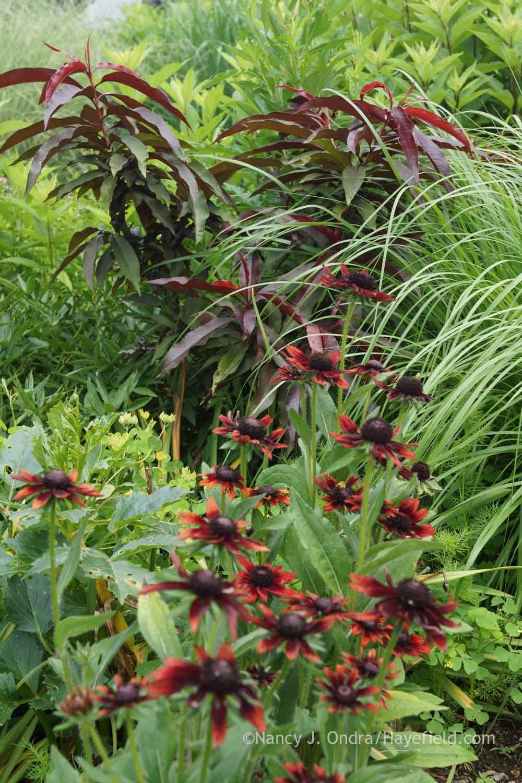 garden bloggers bloom day july 2015 hayefield. Black Bedroom Furniture Sets. Home Design Ideas