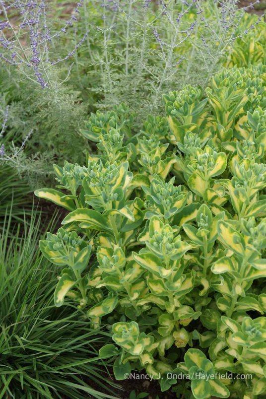 Sedum alboroseum 'Mediovariegatum' with Perovskia 'Filigran' and Schizachyrium scoparium 'Prairie Munchkin'; Nancy J. Ondra at Hayefield