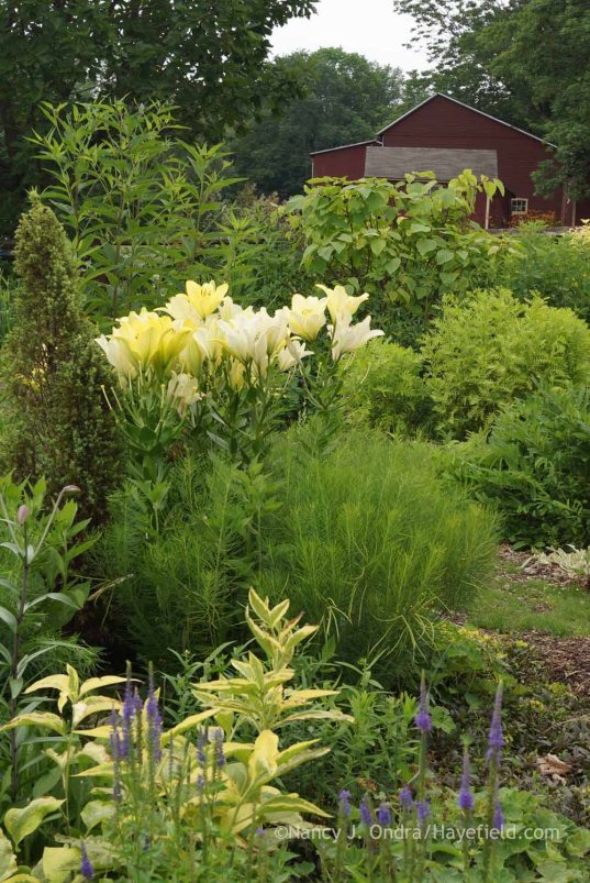 Veronica grandis, Symphytum x uplandicum 'Axminster Gold', Amsonia hubrichtii, Lilium 'Freya', Juniperus 'Gold Cone', Vernonia noveboracensis, and Catalpa bignonioides 'Aurea' in the Side Garden at Hayefield; Nancy J. Ondra