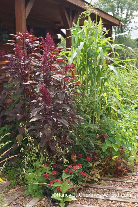 Amaranthus Hopi Red Dye with Zea mays var. tunicata; Nancy J. Ondra at Hayefield
