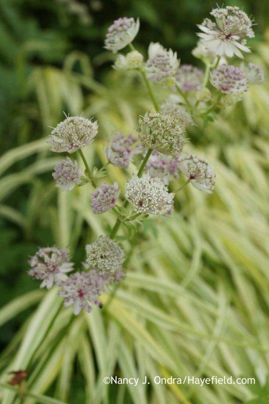 Astrantia major Sunningdale Variegated seedling; Nancy J. Ondra at Hayefield